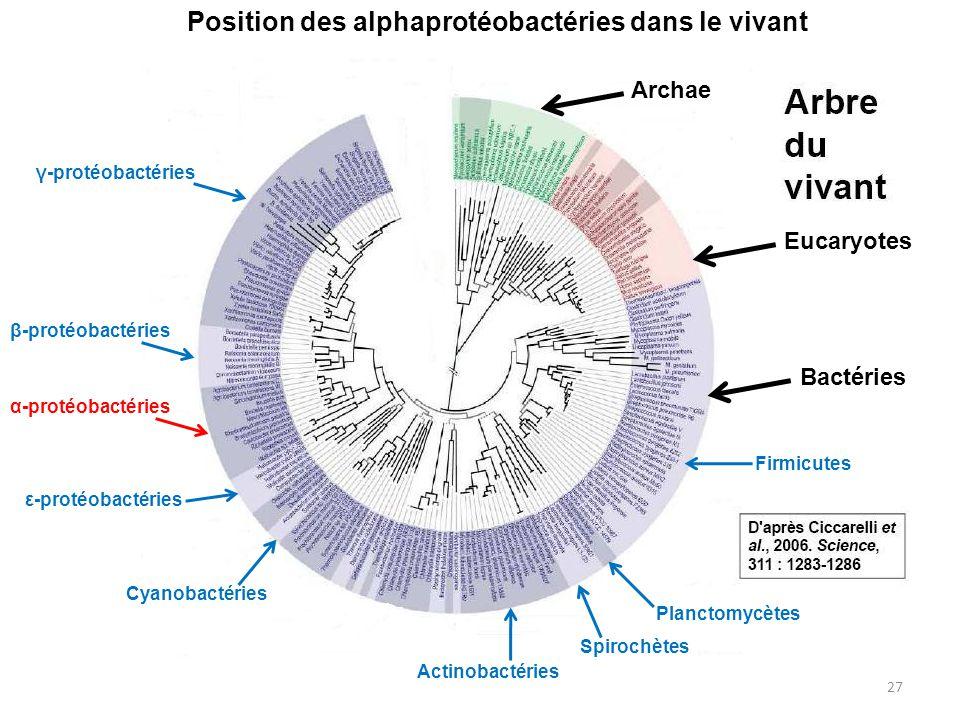 27 Position des alphaprotéobactéries dans le vivant Archae Eucaryotes Bactéries γ-protéobactéries β-protéobactéries α-protéobactéries ε-protéobactérie