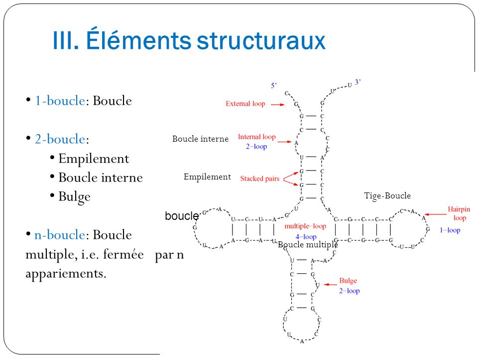 III. Éléments structuraux Boucle interne Empilement Boucle multiple Tige-Boucle 1-boucle: Boucle 2-boucle: Empilement Boucle interne Bulge n-boucle: B