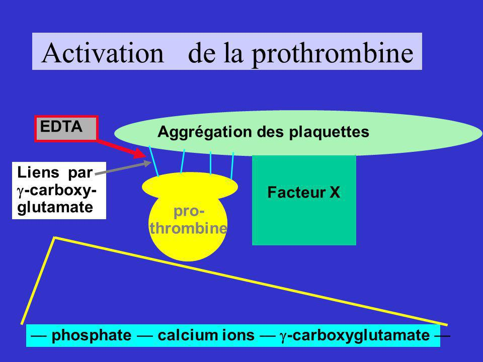 Activation de la prothrombine Aggrégation des plaquettes pro- thrombine Liens par -carboxy- glutamate phosphate calcium ions -carboxyglutamate EDTA Facteur X