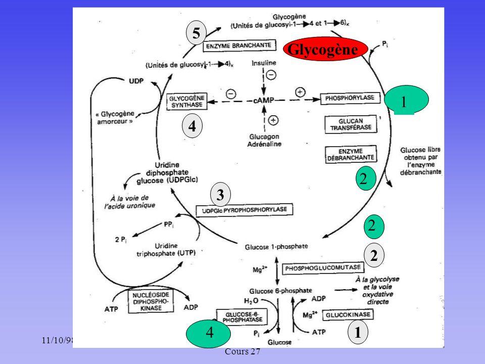 11/10/988Méta. des glucides : Chapitre 5 ; Cours 27 1 3 2 4 5 1 2 Glycogène 3 4 2