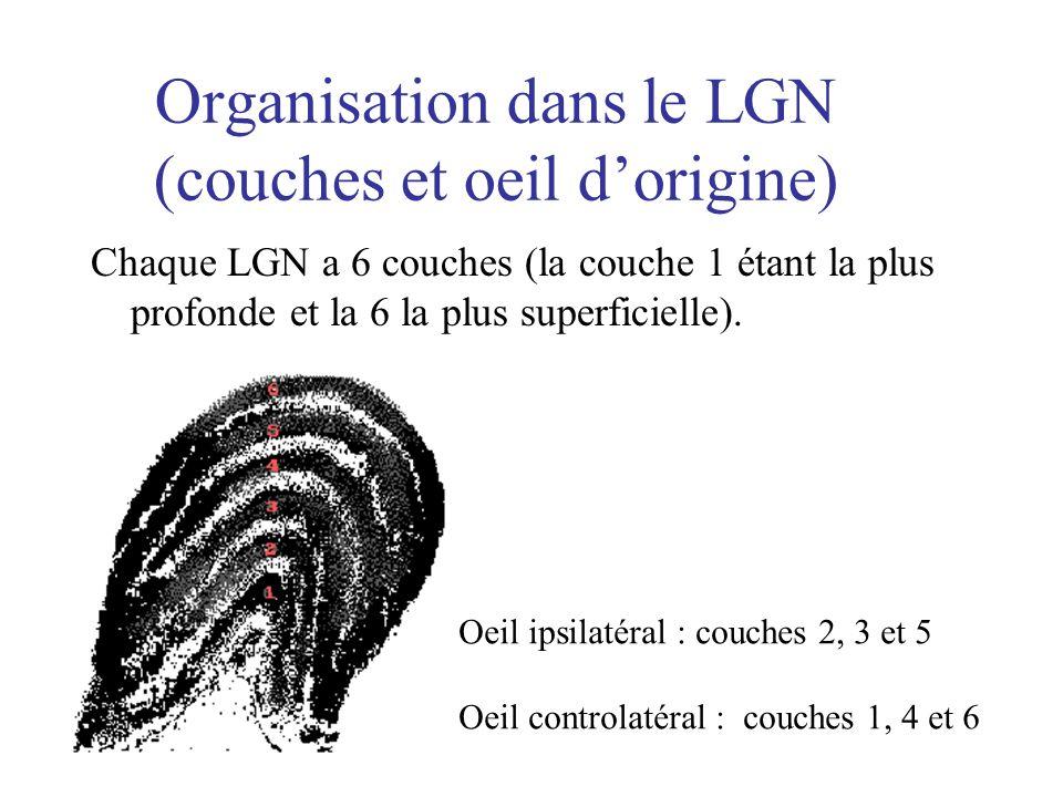 Organisation dans le LGN (couches et oeil dorigine) Chaque LGN a 6 couches (la couche 1 étant la plus profonde et la 6 la plus superficielle). Oeil ip