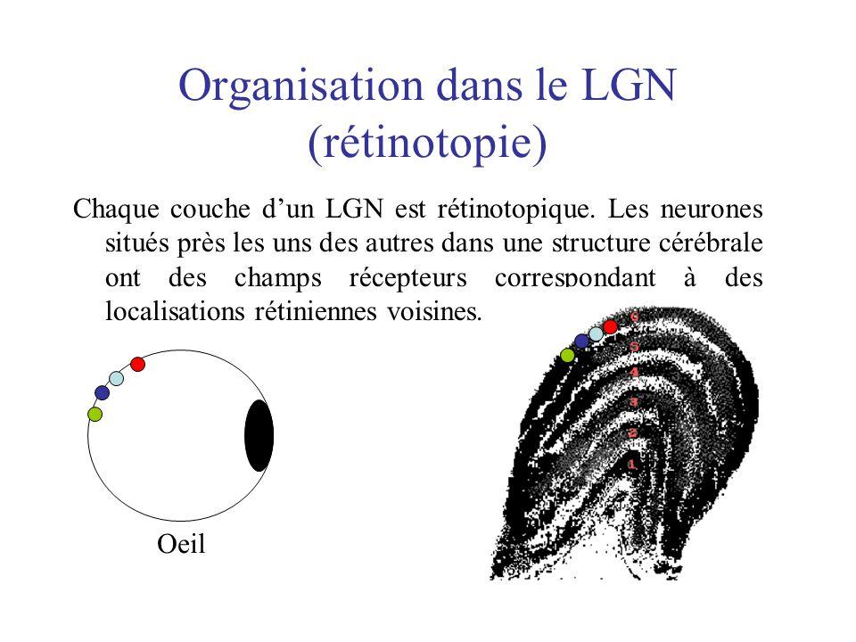 Organisation dans le LGN (rétinotopie) Chaque couche dun LGN est rétinotopique. Les neurones situés près les uns des autres dans une structure cérébra