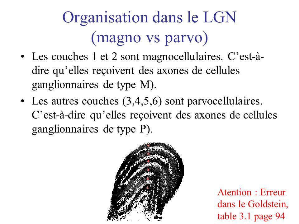 Organisation dans le LGN (magno vs parvo) Les couches 1 et 2 sont magnocellulaires. Cest-à- dire quelles reçoivent des axones de cellules ganglionnair