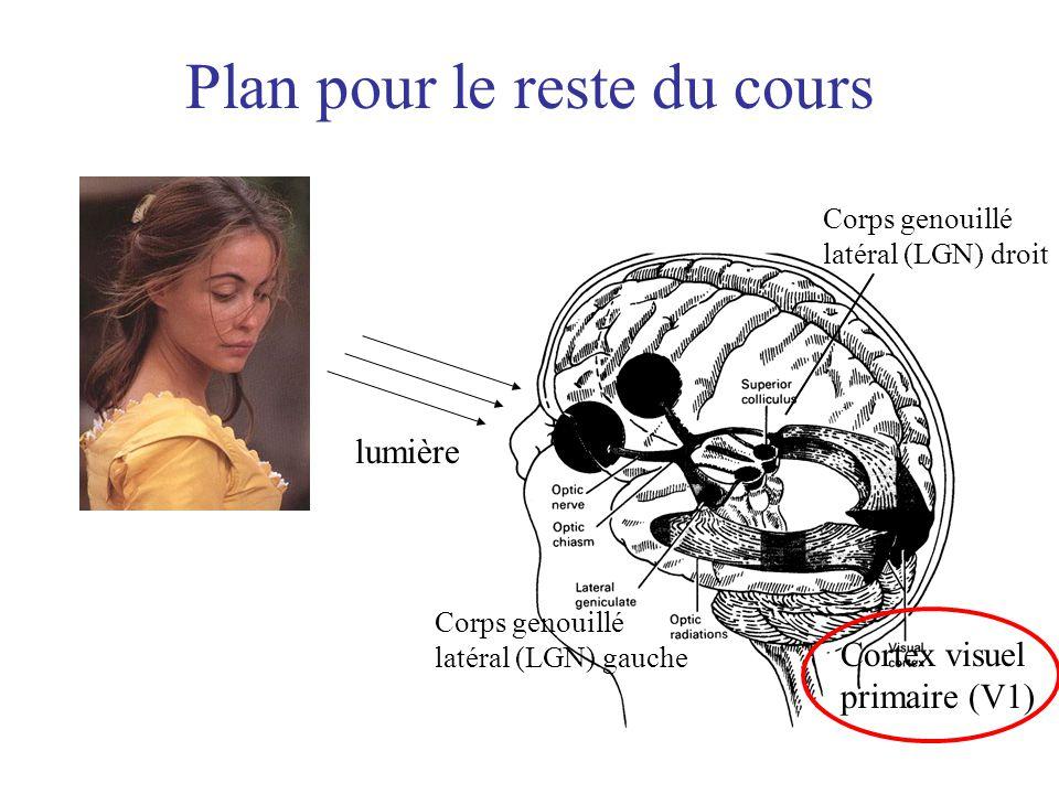 Plan pour le reste du cours lumière Corps genouillé latéral (LGN) gauche Corps genouillé latéral (LGN) droit Cortex visuel primaire (V1)