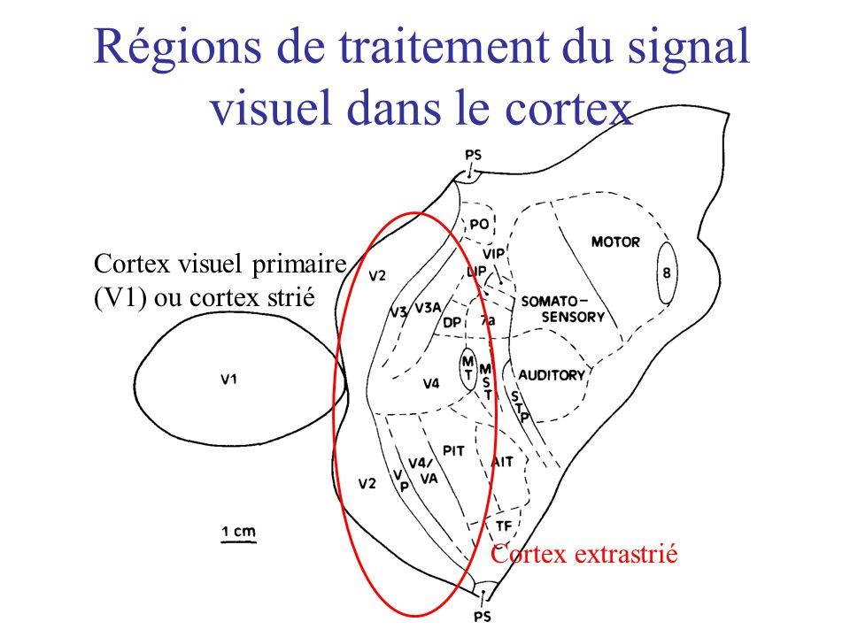 Régions de traitement du signal visuel dans le cortex Cortex visuel primaire (V1) ou cortex strié Cortex extrastrié