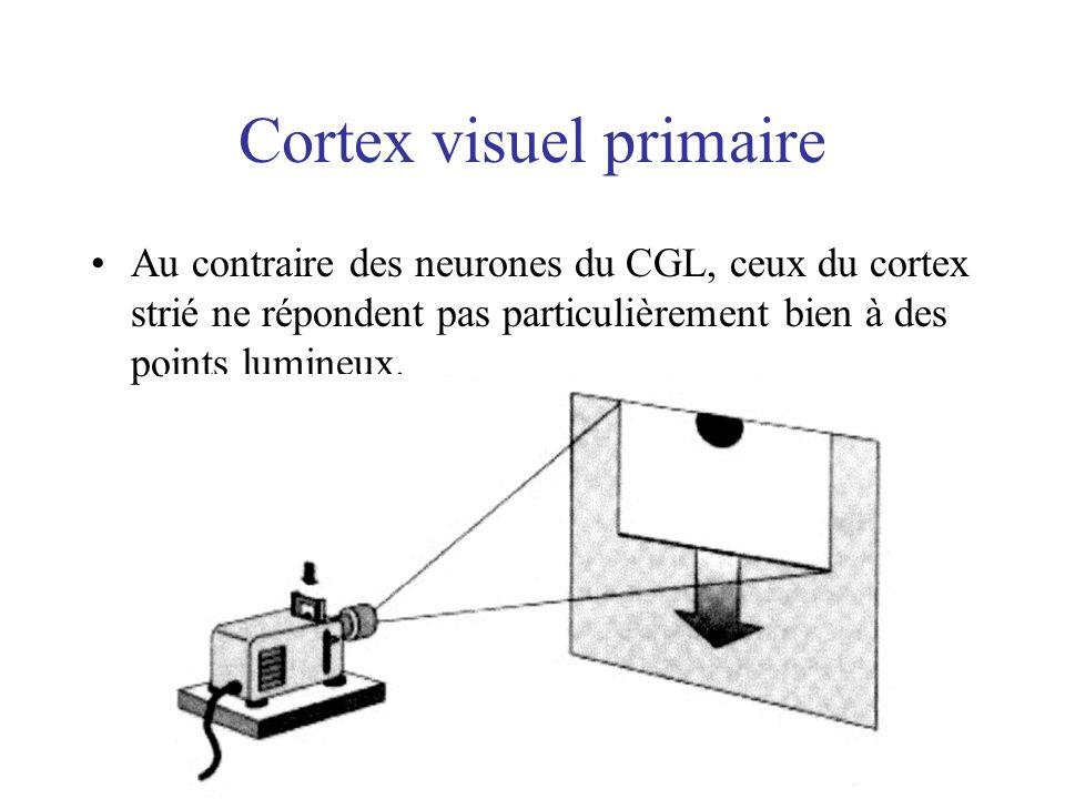 Cortex visuel primaire Au contraire des neurones du CGL, ceux du cortex strié ne répondent pas particulièrement bien à des points lumineux.
