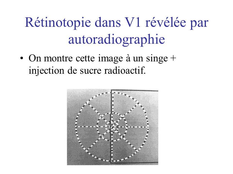 Rétinotopie dans V1 révélée par autoradiographie On montre cette image à un singe + injection de sucre radioactif.