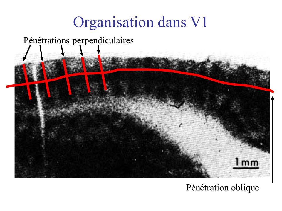 Organisation dans V1 Pénétrations perpendiculaires Pénétration oblique