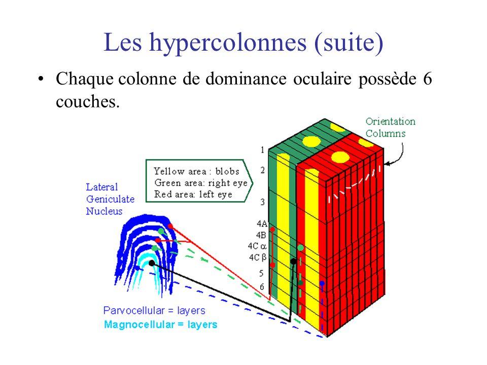 Les hypercolonnes (suite) Chaque colonne de dominance oculaire possède 6 couches.