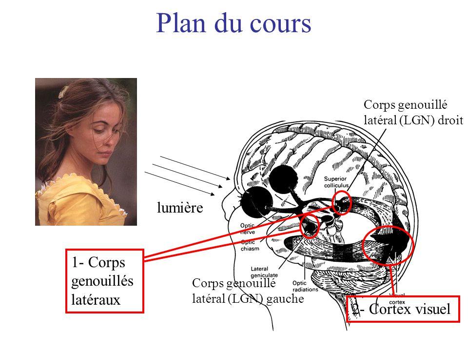 lumière Corps genouillé latéral (LGN) gauche Corps genouillé latéral (LGN) droit 2- Cortex visuel Plan du cours 1- Corps genouillés latéraux