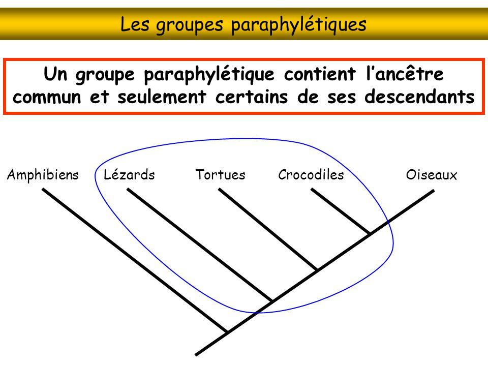 Les groupes paraphylétiques CrocodilesOiseauxTortuesLézardsAmphibiens Un groupe paraphylétique contient lancêtre commun et seulement certains de ses d
