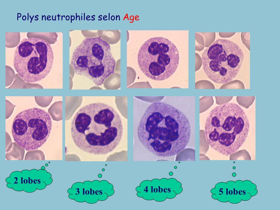 Granulopoièse neutrophile METAMYELOCYTE –Maturation –Segmentation –Raréfaction des ribosomes et mitochondries