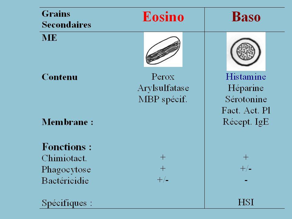 Baso (suite) Grains Baso: grosses granulations metachromatiques hydrosolubles, colorées en bleu par Bleu de Toluidine ME: grains denses 20 nm, homogène ou variable petits grains monomorphes = phosph acides Activité = Relargage Histamine