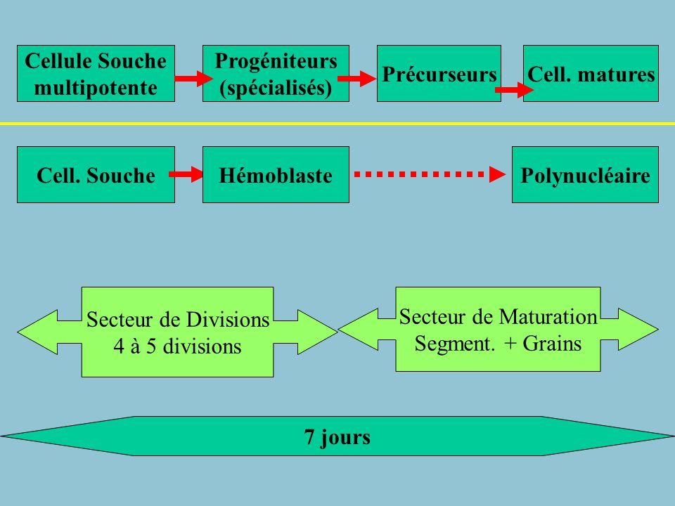 LyTLyB CFU-Lympho Cellule Souche CFU-GEMM CFU-MK CFU-GM CFU-GCFU-M Poly neutroPoly EosinoPoly Baso CFU-E BFU-E Mono CFU-EoCFU-Baso Plaquettes Réticulocyte Hématie IL5 IL3 IL4 EPO