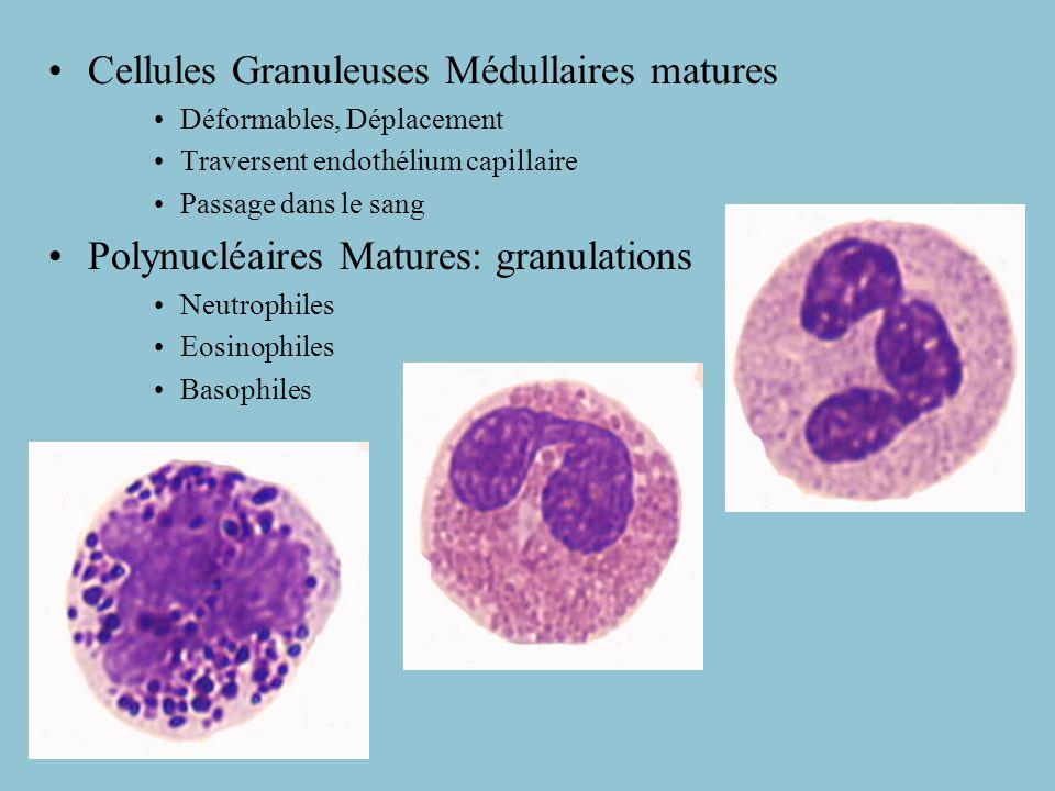 Cellule Souche multipotente Progéniteurs (spécialisés) Cell.