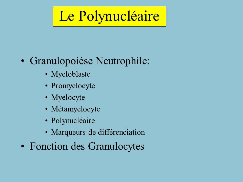 Cellules Granuleuses Médullaires matures Déformables, Déplacement Traversent endothélium capillaire Passage dans le sang Polynucléaires Matures: granulations Neutrophiles Eosinophiles Basophiles