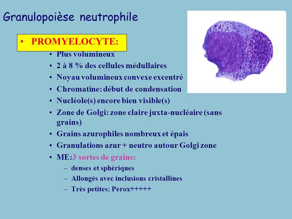Granulopoièse neutrophile Neutrophiles sanguins: 40 à 80% des leucocytes selon l age Lignée granuleuse: 70% de l hématopoièse médullaire MYELOBLASTE –Granulations azurophiles intracytoplasmiques –Cellule peu représentée: 0 à 2% –Taille: 15 à 20 microns –Forme: quadrangulaire ou ovale –Chromatine finement piquetée –Nucléoles: 1 à 3 nettement délimités –Noyau convexe –Cytoplasme hyperbasophile –Peroxydase +++CD13+++CD33++