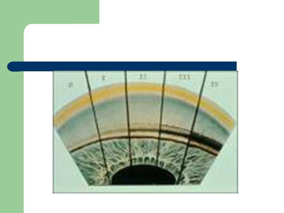 Rappels Anatomie du trabéculum: – Tapisse la gouttière sclérale, entre lanneau de Schwalbe en avant et léperon scléral en arrière.