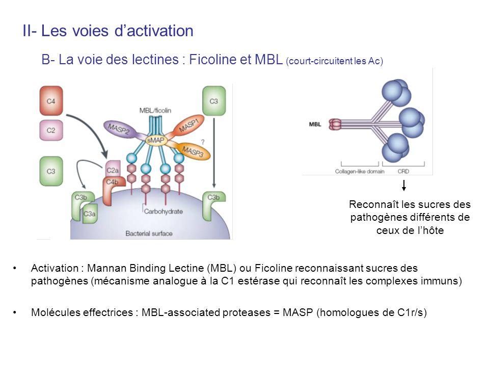 Activation : Mannan Binding Lectine (MBL) ou Ficoline reconnaissant sucres des pathogènes (mécanisme analogue à la C1 estérase qui reconnaît les compl
