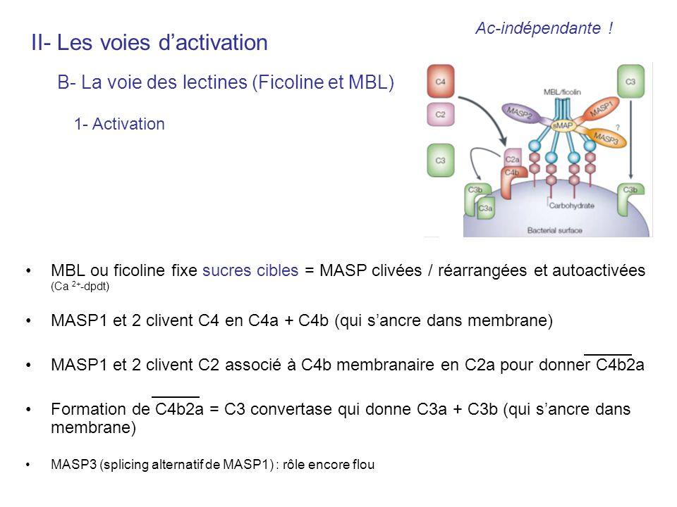 MBL ou ficoline fixe sucres cibles = MASP clivées / réarrangées et autoactivées (Ca 2+ -dpdt) MASP1 et 2 clivent C4 en C4a + C4b (qui sancre dans memb
