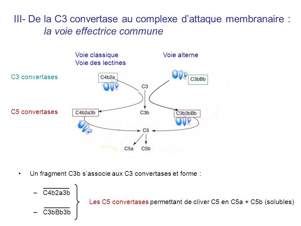 Un fragment C3b sassocie aux C3 convertases et forme : –C4b2a3b –C3bBb3b III- De la C3 convertase au complexe dattaque membranaire : la voie effectric