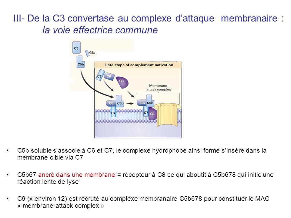 C5b soluble sassocie à C6 et C7, le complexe hydrophobe ainsi formé sinsère dans la membrane cible via C7 C5b67 ancré dans une membrane = récepteur à