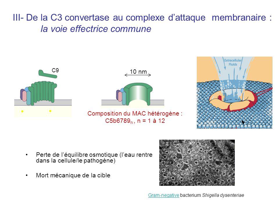 Perte de léquilibre osmotique (leau rentre dans la cellule/le pathogène) Mort mécanique de la cible III- De la C3 convertase au complexe dattaque memb