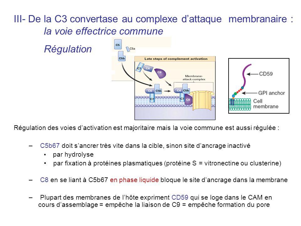 III- De la C3 convertase au complexe dattaque membranaire : la voie effectrice commune Régulation Régulation des voies dactivation est majoritaire mai