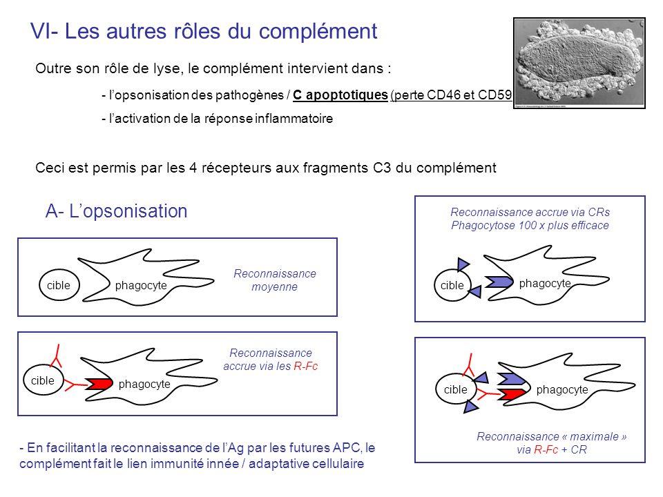VI- Les autres rôles du complément Outre son rôle de lyse, le complément intervient dans : - lopsonisation des pathogènes / C apoptotiques (perte CD46