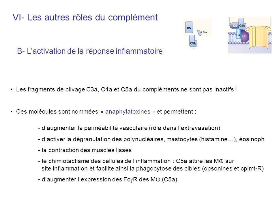 B- Lactivation de la réponse inflammatoire Les fragments de clivage C3a, C4a et C5a du compléments ne sont pas inactifs ! Ces molécules sont nommées «
