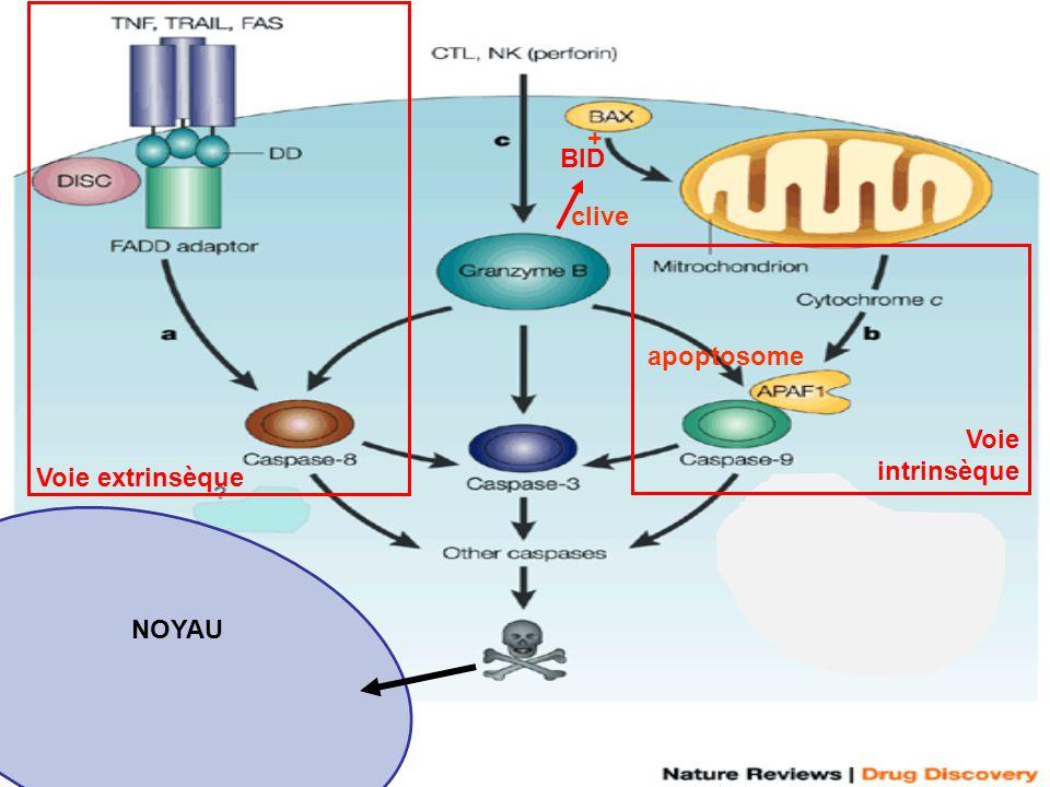 Voie intrinsèque BID clive + Voie extrinsèque NOYAU apoptosome