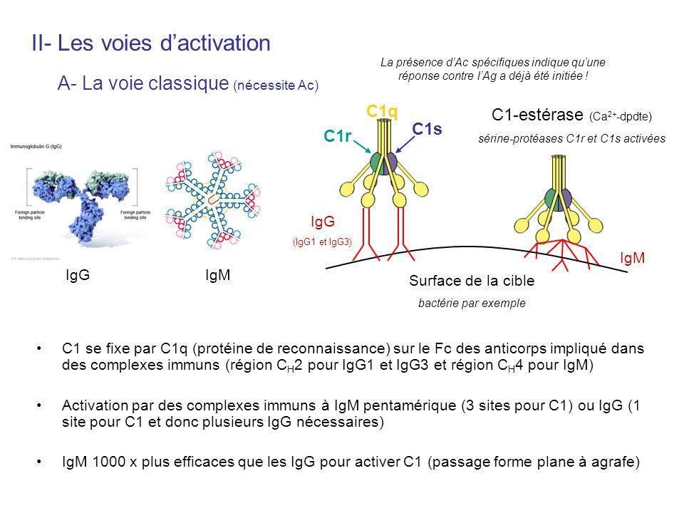 C1 se fixe par C1q (protéine de reconnaissance) sur le Fc des anticorps impliqué dans des complexes immuns (région C H 2 pour IgG1 et IgG3 et région C