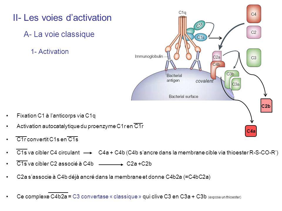 Contrôle de la C1-estérase par C1-inh : - empêche activation de C1r en phase liquide - peut inactiver le C1r activé Thioester C3b et C4b hyper-réactif est hydrolysé en qqes ms par leau si non-fixé = obligation de se lier covalement au voisinage immédiat (= pas deffet collatéral) Complexe C4b2a instable = dissociation spontanée Contrôle de la C3 convertase (C4b2a) : - C4-bp inhibe lassociation C4b / C2 - CD55 = DAF « decay-accelerating factor » dissociation C4 / C2 (protection de lhôte) - CR1 (CD35) = C3b-R peut titrer le C3b - Facteur I : clive C3b en iC3b II- Les voies dactivation A- La voie classique 2- Régulation C1-inh (détache C1r et C1s du complexe)