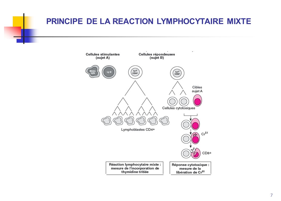 7 PRINCIPE DE LA REACTION LYMPHOCYTAIRE MIXTE