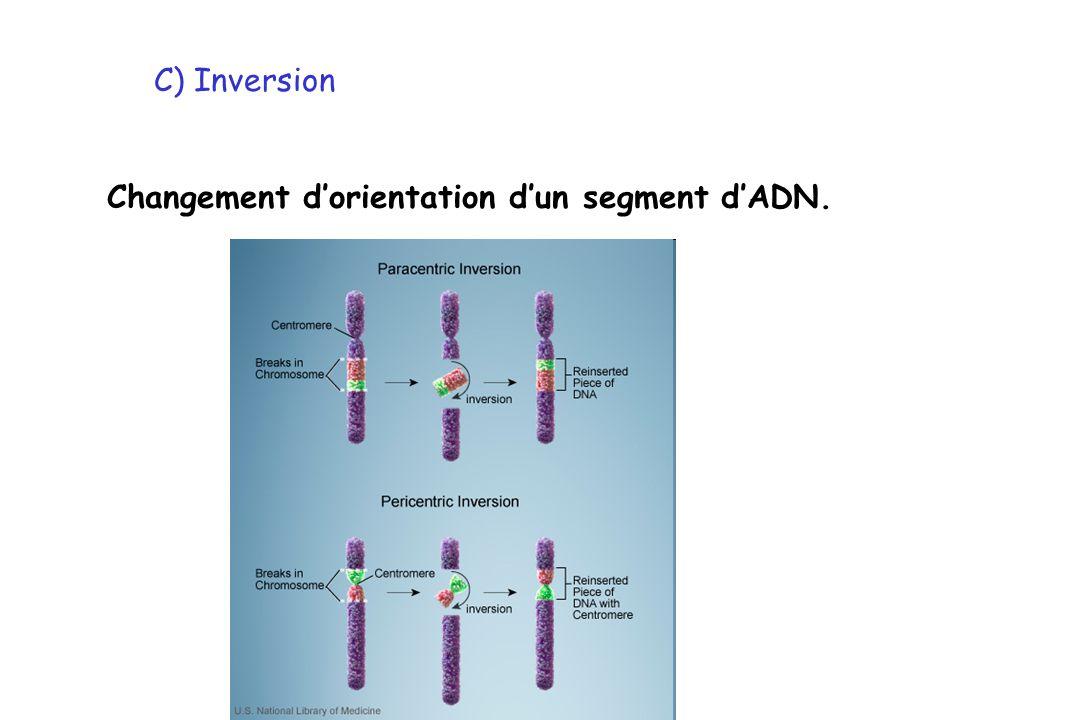 C) Inversion Changement dorientation dun segment dADN.