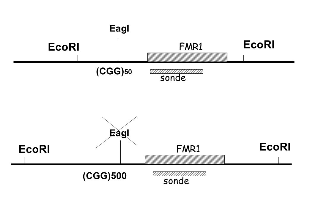 (CGG) 50 EcoRI (CGG)500 EcoRI EagI sonde FMR1