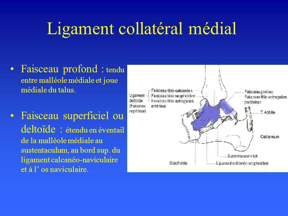 Ligament collatéral médial Faisceau profond : tendu entre malléole médiale et joue médiale du talus. Faisceau superficiel ou deltoïde : étendu en éven