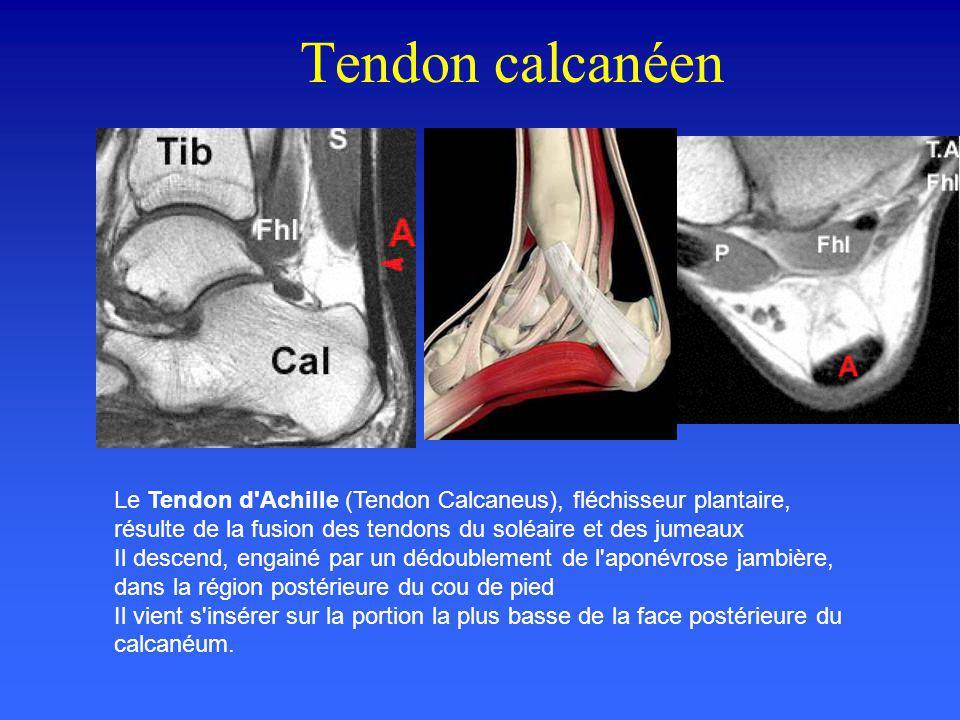 Tendon calcanéen Le Tendon d'Achille (Tendon Calcaneus), fléchisseur plantaire, résulte de la fusion des tendons du soléaire et des jumeaux Il descend