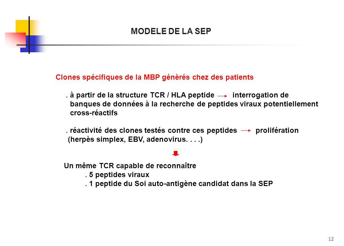 12 MODELE DE LA SEP Clones spécifiques de la MBP génèrés chez des patients. à partir de la structure TCR / HLA peptideinterrogation de banques de donn
