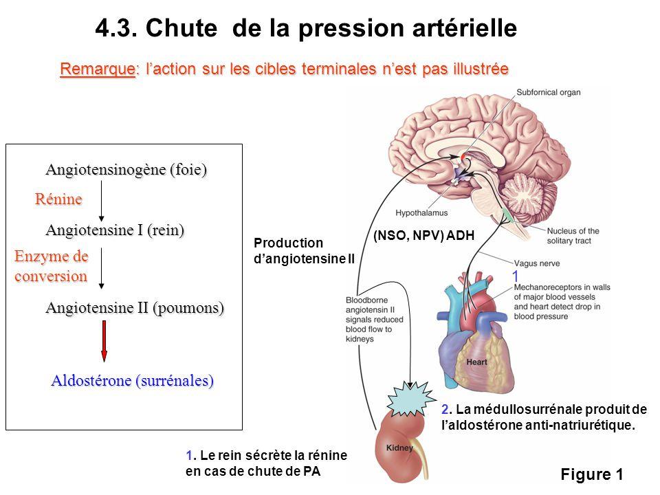 4.3. Chute de la pression artérielle Angiotensinogène (foie) Angiotensine I (rein) Angiotensine II (poumons) Aldostérone (surrénales) Rénine Enzyme de