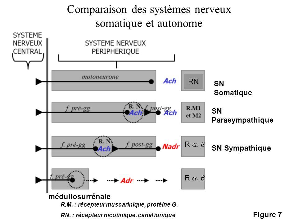 Comparaison des systèmes nerveux somatique et autonome médullosurrénale SN Somatique SN Parasympathique SN Sympathique R.M. : récepteur muscarinique,