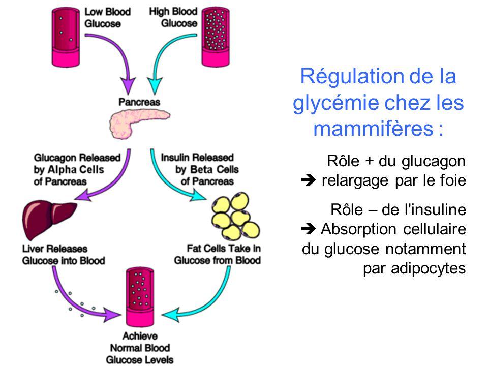 Régulation de la glycémie chez les mammifères : Rôle + du glucagon relargage par le foie Rôle – de l insuline Absorption cellulaire du glucose notamment par adipocytes