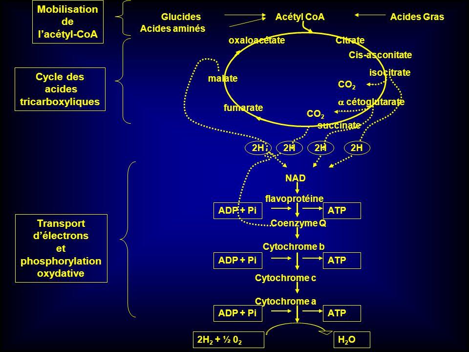 Citrate Cis-asconitate isocitrate fumarate malate oxaloacétate CO 2 cétoglutarate CO 2 succinate 2H NAD 2H flavoprotéine 2H2H Coenzyme Q ADP + PiATP C