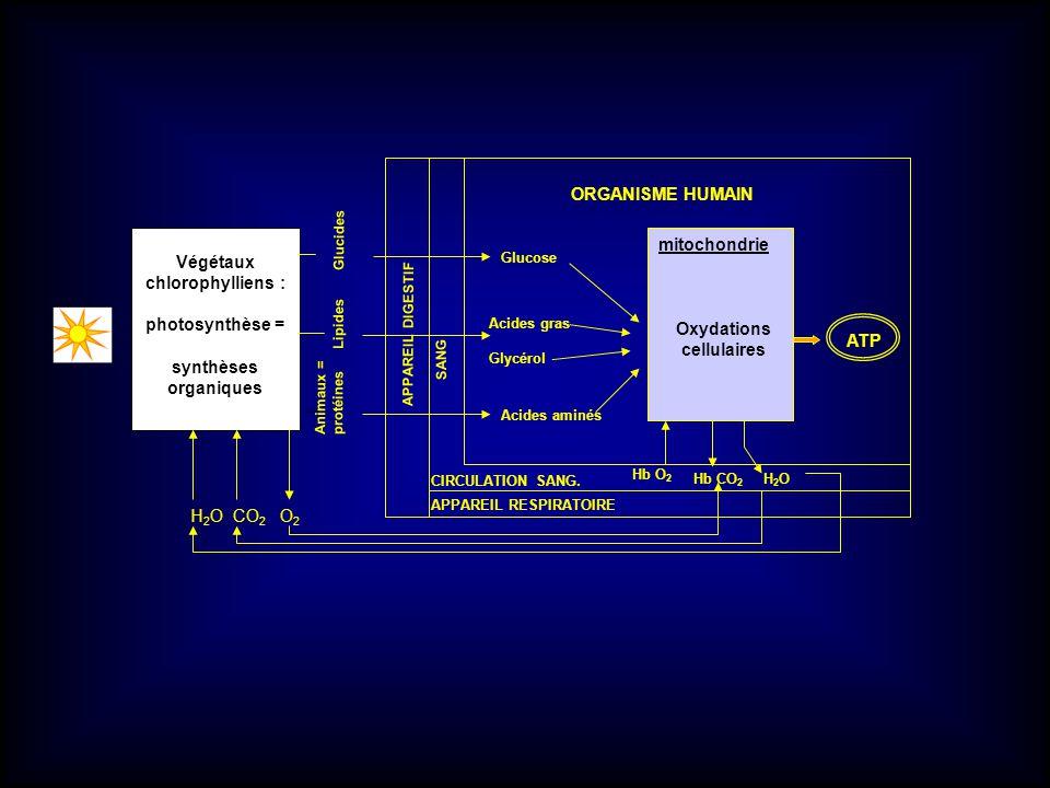 Végétaux chlorophylliens : photosynthèse = synthèses organiques Glucose Acides gras Glycérol Acides aminés Oxydations cellulaires mitochondrie APPAREI