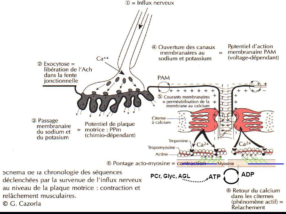 ATP ADP PCr, Glyc, AGL