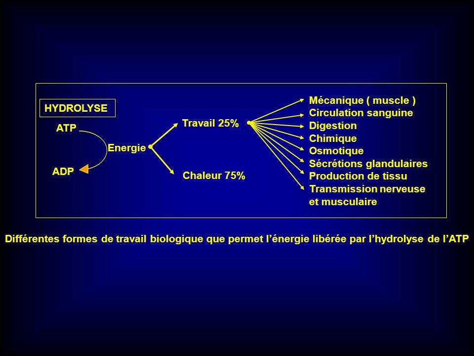 HYDROLYSE ATP ADP Energie Travail 25% Chaleur 75% Mécanique ( muscle ) Circulation sanguine Digestion Chimique Osmotique Sécrétions glandulaires Produ