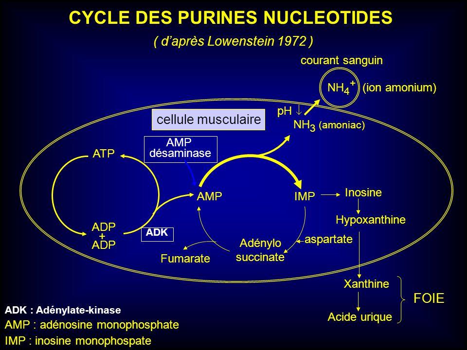 ADP + ATP AMPIMP NH 3 (amoniac) Inosine Hypoxanthine Xanthine Acide urique Adénylo succinate Fumarate CYCLE DES PURINES NUCLEOTIDES ( daprès Lowenstei