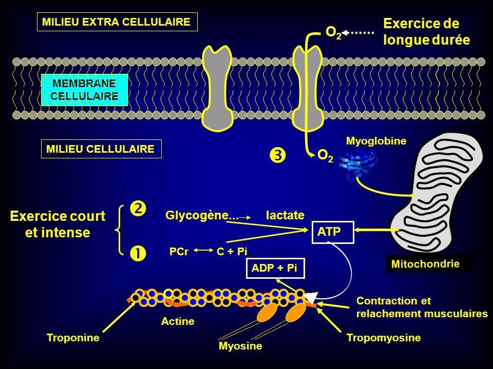 O2O2 O2O2 Myoglobine Tropomyosine Mitochondrie ATP ADP + Pi MEMBRANE CELLULAIRE MILIEU CELLULAIRE PCr C + Pi Exercice court et intense Myosine Actine
