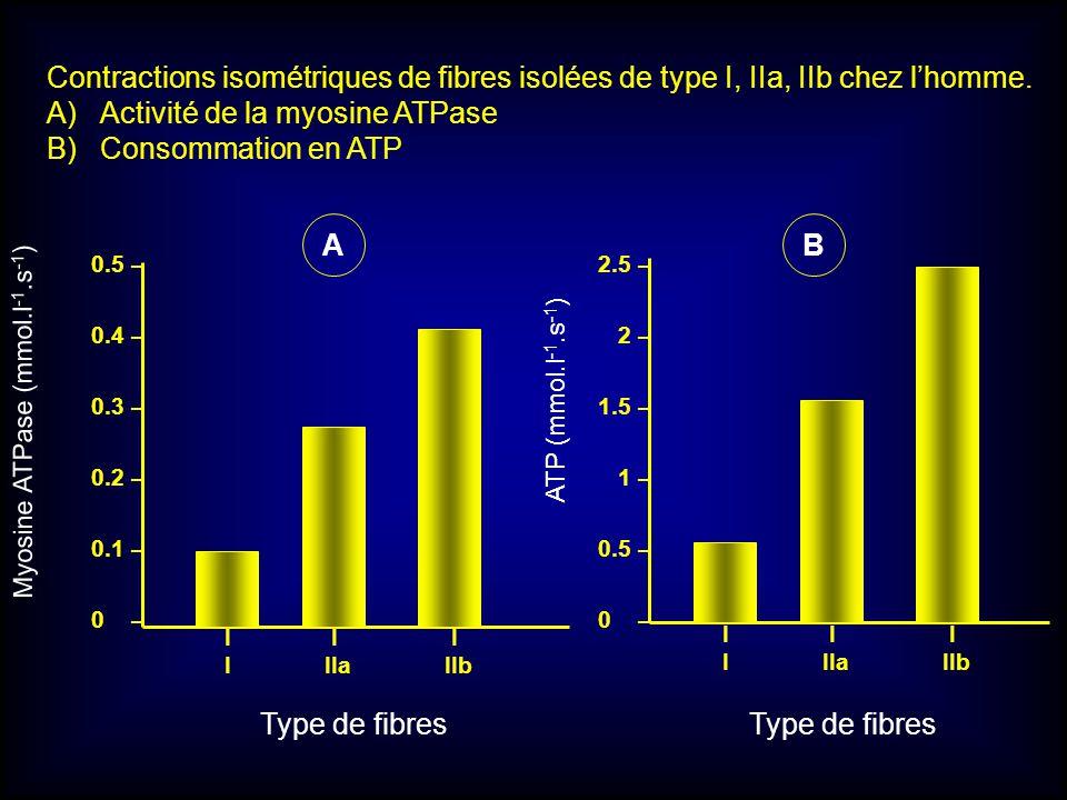 Myosine ATPase (mmol.l -1.s -1 ) 0.5 – 0.4 – 0.3 – 0.2 – 0.1 – 0 – Type de fibres I I I I IIa IIb I I I I IIa IIb Type de fibres ATP (mmol.l -1.s -1 )