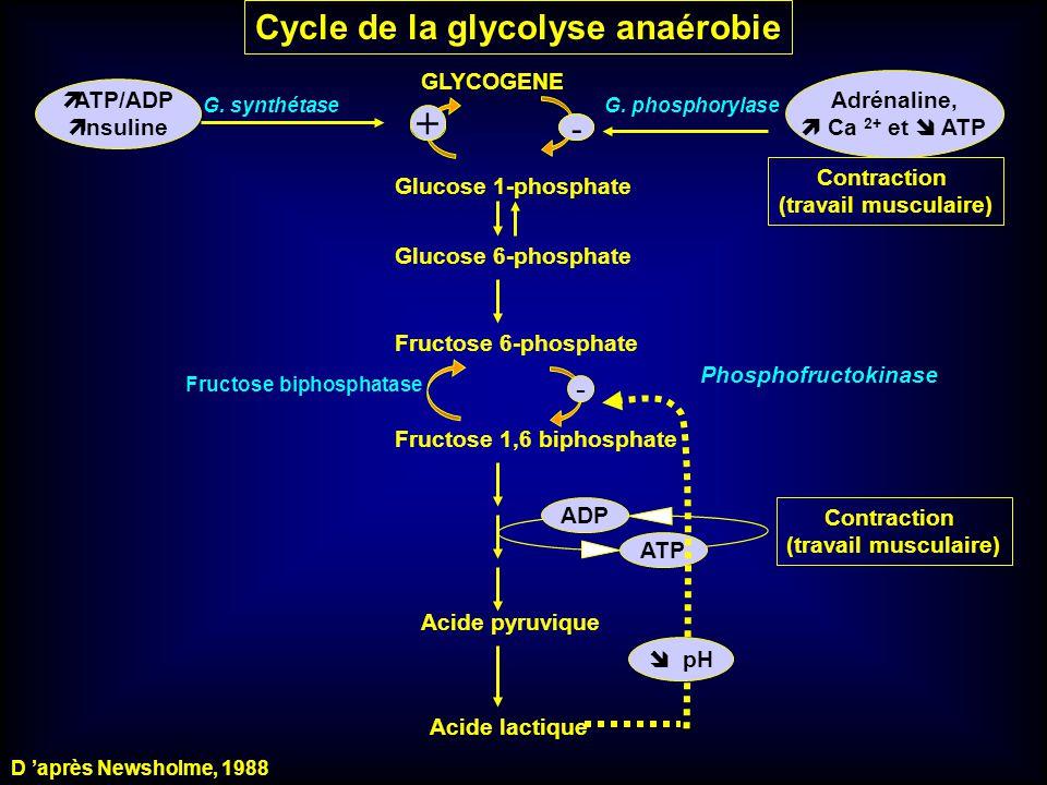 Cycle de la glycolyse anaérobie GLYCOGENE + Adrénaline, Ca 2+ et ATP Glucose 1-phosphate Glucose 6-phosphate G. phosphorylase Fructose 6-phosphate - F
